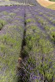 Garden full of lavender in Ostrów 40 km from Krakow. The smell and color of lavender allows visitors to feel like in Provence. stock photography