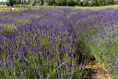 Garden full of lavender in Ostrów 40 km from Krakow. The smell and color of lavender allows visitors to feel like in Provence stock photo
