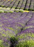 Garden full of lavender in Ostrów 40 km from Krakow. The smell and color of lavender allows visitors to feel like in Provence stock image