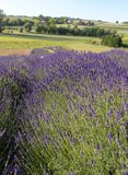 Garden full of lavender. `Garden full of lavender in Ostrów 40 km from Krakow. The smell and color of lavender allows visitors to feel like in Provence stock photography