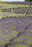 Garden full of lavender royalty free stock photography
