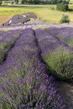 A Garden full of lavender. Ostrow, Poland - June 6, 2018: A Garden full of lavender arranged by Barbara and Andrzej Olender in Ostrów 40 km from Krakow. The stock images