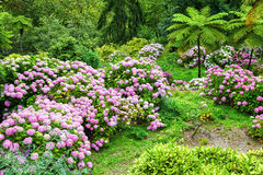 Garden full of pink hydrangeas Stock Photo