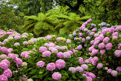 Garden full of pink hydrangeas Stock Images