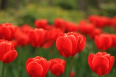 A garden full of red flowers with flower background. This is a A garden full of red flowers with flower background stock images