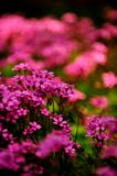 Flowers in the garden. The garden is full of red, yellow, pink flowers of all colors, beautiful Stock Image