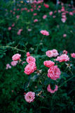 Garden full of roses. Pink roses in full bloom stand out in a dark green garden Royalty Free Stock Images