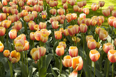 Garden full of tulip flowers Royalty Free Stock Photography