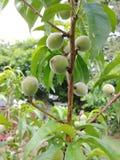Baby peaches royalty free stock photo