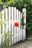 Garden gate and poppy Stock Image