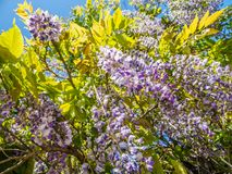 Wisteria Wisteria sinensis. Garden gate under large purple clusters of wisteria Wisteria sinensis blooming in the spring royalty free stock images