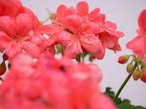 Garden geranium flower in a pot. Close up shot royalty free stock photo