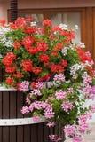 Garden geranium flowers. Red and pink garden geranium flowers stock images