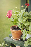 Garden geranium Royalty Free Stock Photo