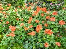 Garden geranium in garden. Garden geranium or pelargonium hortorum stock photos