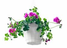 Garden geranium Stock Image