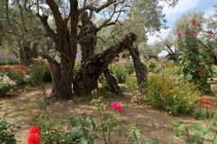 Garden of Gethsemane Royalty Free Stock Photos