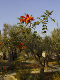 Garden of Gethsemane with flower Royalty Free Stock Image
