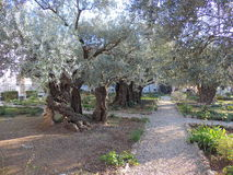 Garden of Gethsemane. Gethsemane is a garden at the foot of the Mount of Olives in Jerusalem, most famous as the place where Jesus prayed and his disciples slept stock photo