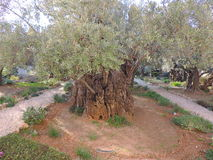 Garden of Gethsemane. Gethsemane is a garden at the foot of the Mount of Olives in Jerusalem, most famous as the place where Jesus prayed and his disciples slept royalty free stock photo