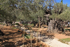 Garden of Gethsemane in Israel Stock Image