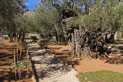 Garden of Gethsemane in Israel Royalty Free Stock Image