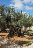 Garden of Gethsemane in Jerusalem. Stock Image