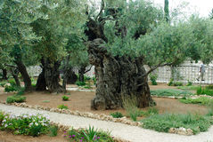 Garden of Gethsemane,Jerusalem Royalty Free Stock Photos