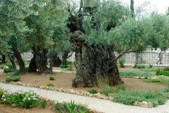 Garden of Gethsemane,Jerusalem royalty free stock photos