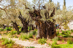 Garden of Gethsemane, Jerusalem, Israel. The gnarled olive trees. Stock Photo