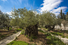 Garden of Gethsemane, Jerusalem, Israel. The gnarled olive trees they see could have been young saplings when Jesus came here with the disciples on that fateful Stock Photos