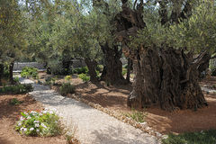 Garden of Gethsemane in Jerusalem Stock Image