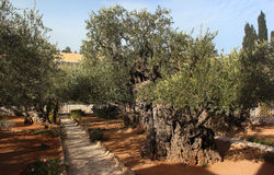 Garden of Gethsemane on Mount of Olives, Jerusalem, Israel Stock Images