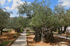 Garden of Gethsemane.Thousand-year olive trees. The great city of Jerusalem. Garden of Gethsemane.Thousand-year olive trees Stock Photos