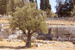 Garden of Gethsemane. Thousand years old olive trees. Stock Photography