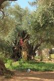 The Garden of Gethsemane stock image