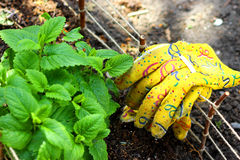 Garden Gloves on Small Fence Around Herbs Garden. Herbs Garden and Small Fence with Yellow Garden Gloves Royalty Free Stock Images
