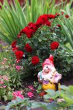 Garden gnome. With red roses bush Stock Photo