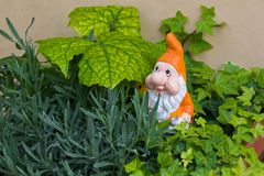 Garden gnome dwarf with white beard, orange pointy hat in a pot. Of Ivy. Ornament figurine in garden royalty free stock images
