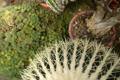 Garden: golden ball cactus and greenhouse plants Stock Photo