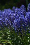 Garden of Grape Hyacinth royalty free stock photos