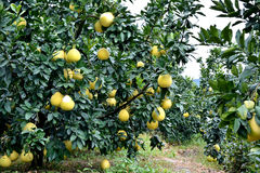 Garden of grapefruit. With many trees, shown as agriculture concept or raw, fresh and healthy fruit Stock Images