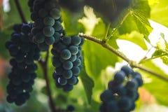 Garden grapes. Stock Photo