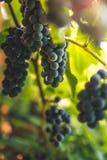 Garden grapes. Stock Photos