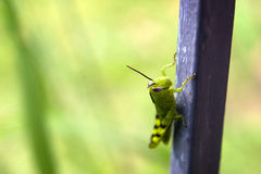 Garden Grass Hopper Royalty Free Stock Photography