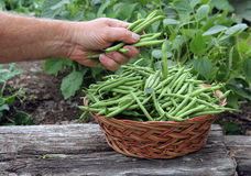 Garden green beans Royalty Free Stock Images