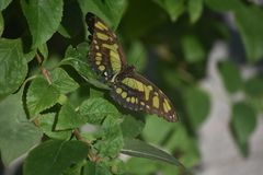 Fantastic Green and Black Malachite Butterfly in a Garden. Garden with a green and black malachite butterfly on a leaf stock photo