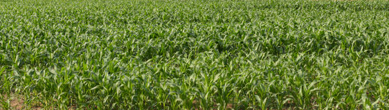 Garden green fresh green corn in the time line. Stock Photo