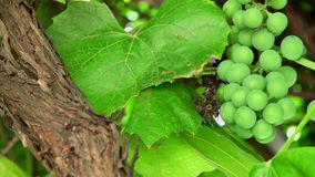 Garden green grapes. Three fragments of summer day garden green unripe grapes and two fragments of garden grapes leaves stock footage