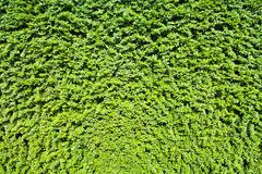 Garden green leaves wall or tree fence for background stock photography
